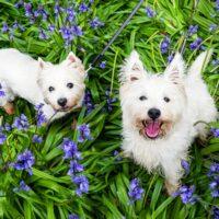 bigstock-Dogs-In-Spring-Flowers-West-H-260753392.jpg