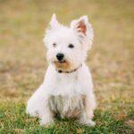 bigstock-Funny-West-Highland-White-Terr-349396009-2.jpg